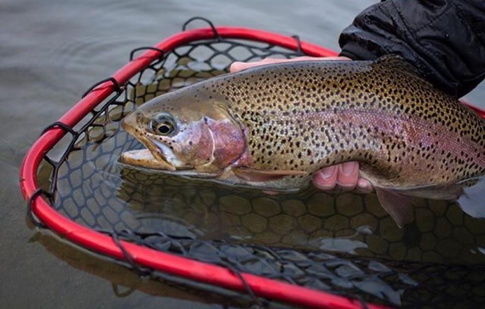 Nice Rainbow Trout in KP's Lunker 24″ Net