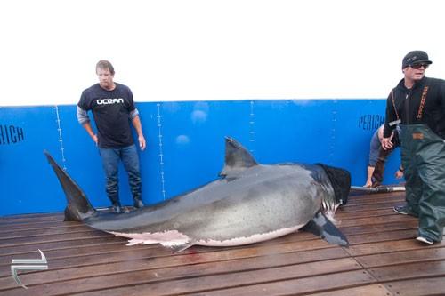 Medium size shark, still plenty big