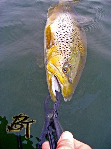 8+ lb Brown controlled in-water by Special Blend lippa4life, this is the best way to control/release fish