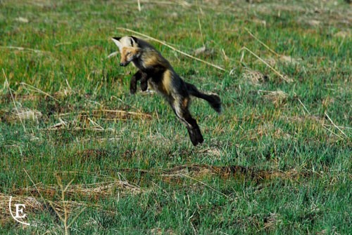 Slow day fishing, fox more interesting